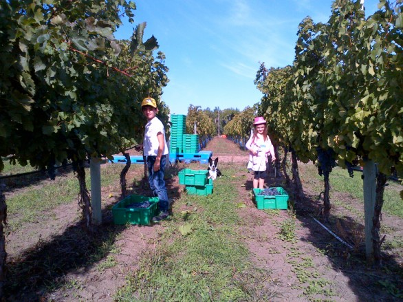 Achille and Ava (Severine's children) helping mom with harvest at Syrah block of Stagg's vineyard @ Le Vieux Pin