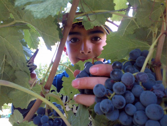 Thnxgivign 2013 severine kids syrah harvest 2